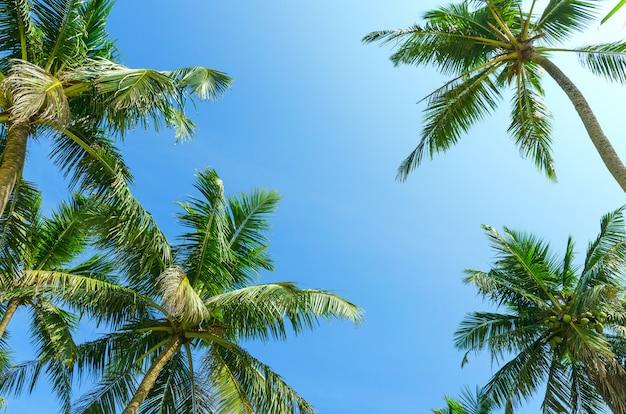 Klarer blauer himmel des sommers mit tropischen kokosnusspalmen. untersicht.