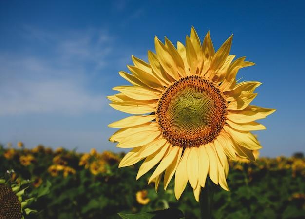 Klassische sonnenblume und feld auf hintergrund des blauen himmels.