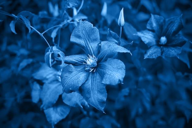 Klassisches blaues, getöntes bild. stimmungsvolle blüten von waldreben, große purpurfarbene knospen auf dunklem untergrund