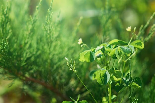 Klee im selektiven fokus auf einem grünen verschwommenen hintergrund