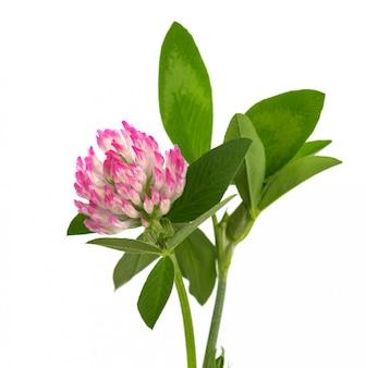 Kleeblume auf einem stiel mit grünen blättern, isoliert