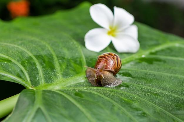 Kleine achatina-schnecke, die auf ein grünes blatt mit wassertröpfchen mit einer weißen schönen magnolienblume unter einer grünen gartennahaufnahme cosmetology kriecht