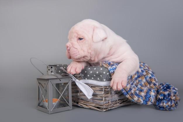 Kleine amerikanische bulldogge hündchen schläft in einem holzkorb mit laterne auf grau.