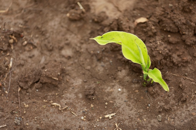 Kleine bananenpflanze in indien