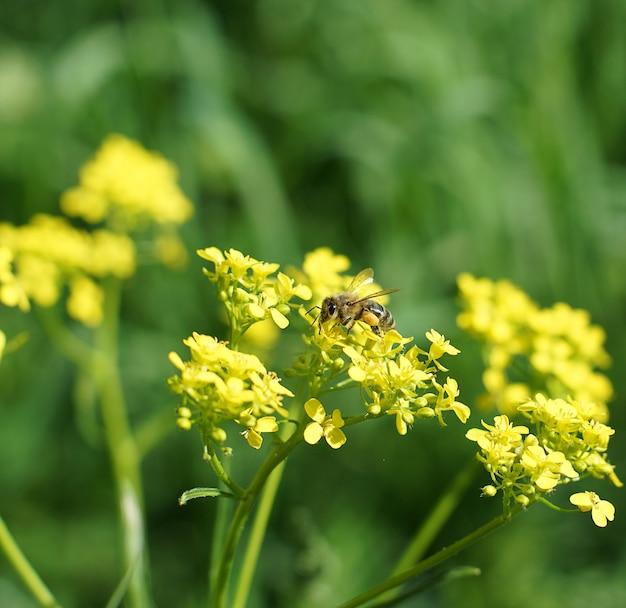 Kleine biene, die pollen auf einer gelben blume sammelt