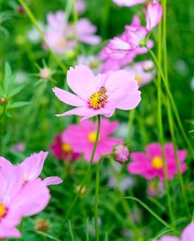 Kleine bienenpollen-kosmosblume hautnah