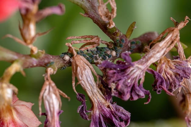 Kleine blattläuse insekten der familie blattläuse an der pflanze flaming katy der art kalanchoe blossfeldiana