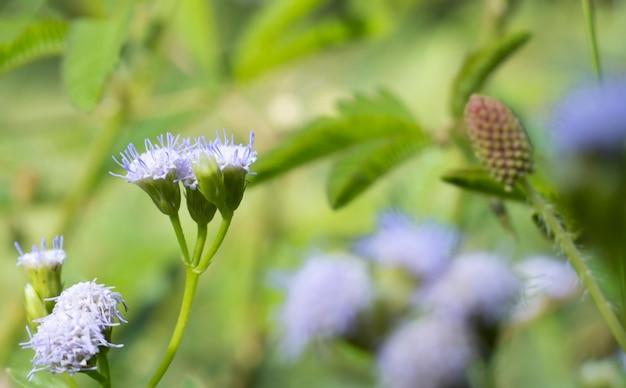 Kleine blaue und weiße blüten, die in asien endemisch sind