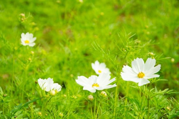 Kleine blume des weißen gänseblümchens mit grünem bokeh baclground