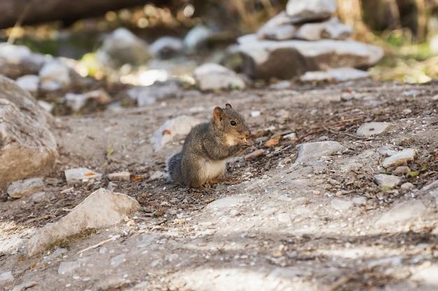 Kleine braune eichhörnchenstellung essen erdnuss im wald