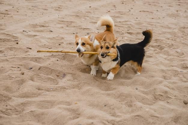 Kleine braune hunde, die auf dem strand spielen