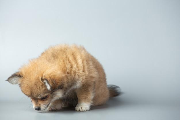 Kleine chihuahua auf grauer oberfläche