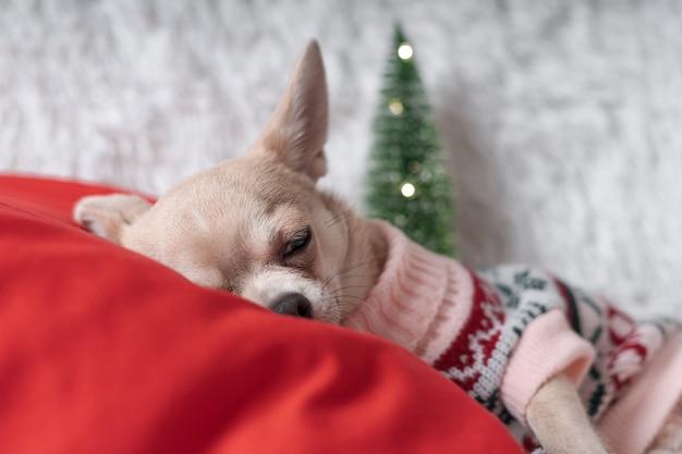 Kleine chihuahua im pullover, die auf einer decke schlafen