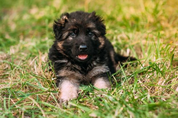 Kleine deutsche schäferhunde