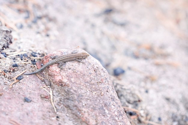 Kleine eidechsenzucht, die auf einem stein ein sonnenbad nimmt