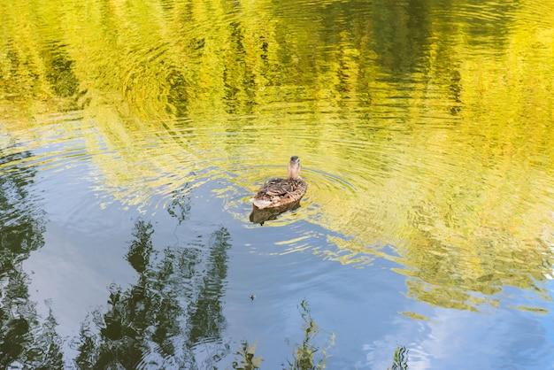 Kleine ente am ruhigen seewasser mit grüner reflexion