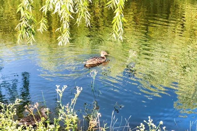 Kleine ente bei ruhigem wasser mit grüner reflektion