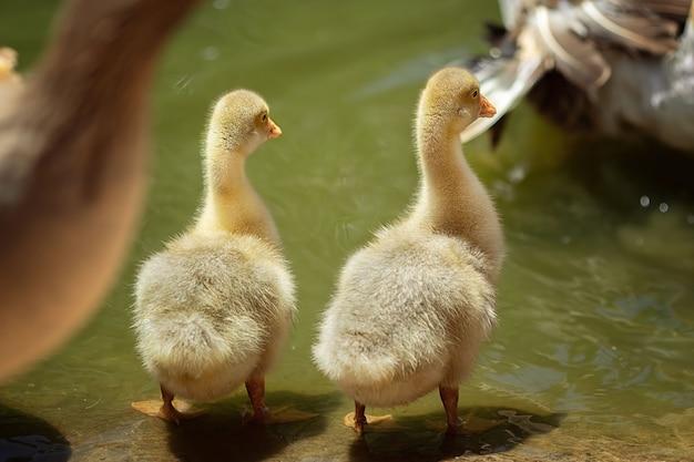 Kleine enten schwimmen in einem teich mit erwachsenen enten