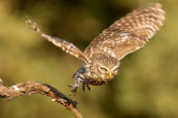Kleine eule fliegt mit den letzten lichtern des nachmittags, raubvogel, vögel, eulen, athene noctua