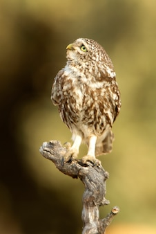 Kleine eule mit den letzten lichtern des nachmittags, raubvogel, vögel, eulen, athene noctua