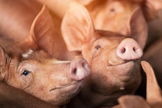 Kleine ferkel schlafen auf dem bauernhof. gruppe von schwein innen warten futter. schweine im stall. augen schließen und verwischen.