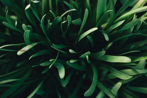 Kleine frische grüne knoblauchblätter mit makroeffekt. hochwertiges foto