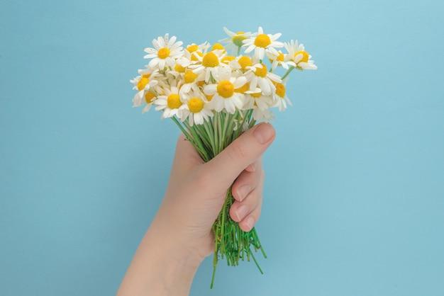 Kleine gänseblümchen in der frauenhand auf einem blau