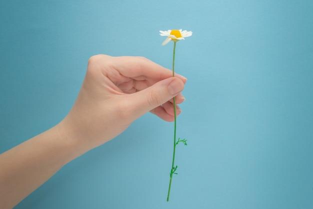 Kleine gänseblümchen in der frauenhand auf einem blauen hintergrund.