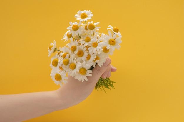 Kleine gänseblümchen in der frauenhand auf einem gelben