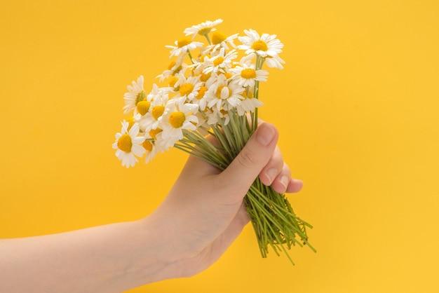 Kleine gänseblümchen in der frauenhand auf gelb