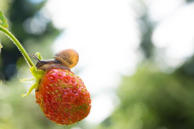 Kleine gartenschnecke, die auf erdbeere auf einem hintergrund eines gartens kriecht