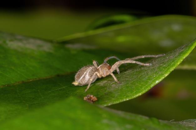 Kleine geisterspinne der familie anyphaenidae