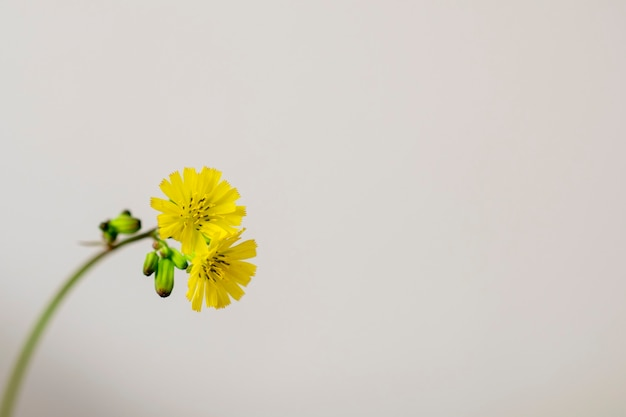 Kleine gelbe blume getrennt. minimalismus