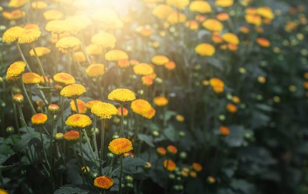 Kleine gelbe chrysanthemenblume mit sonnenlicht