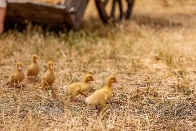 Kleine gelbe entenküken laufen auf trockenem gras, stroh im dorfhof