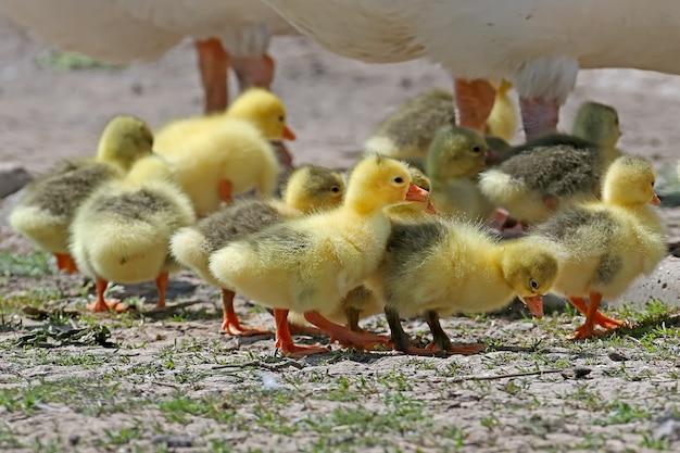 Kleine gelbe gänse gehen neben erwachsenen am boden entlang