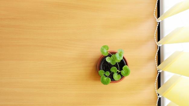 Kleine geranien-zimmerpflanze im topf auf dem tisch