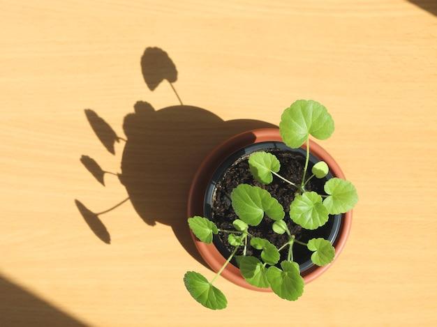 Kleine geranien-zimmerpflanze im topf auf tischwurfschatten