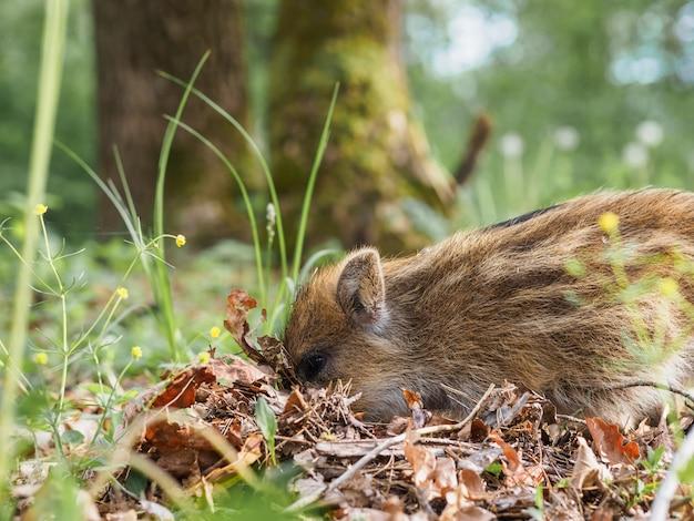 Kleine gestreifte wildschweine graben den boden
