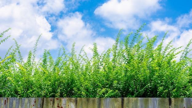 Kleine grüne baumaste im wald am morgen und in einem blauen himmel.