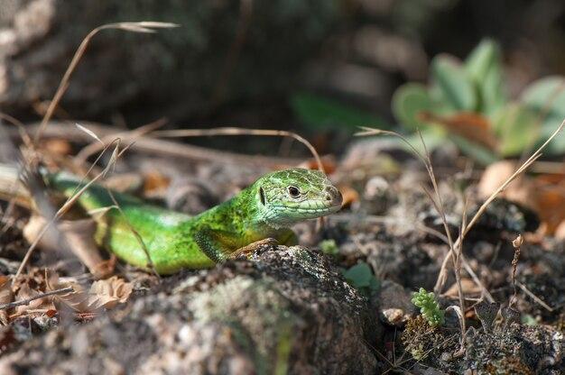 Kleine grüne eidechse, die in der sonne sich aalt.