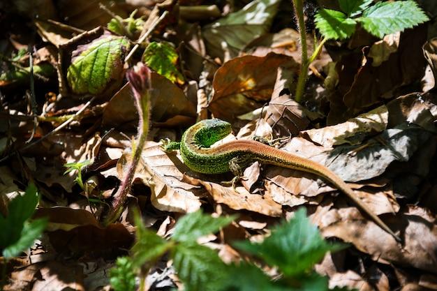 Kleine grüne eidechse, die unter den blättern sitzt