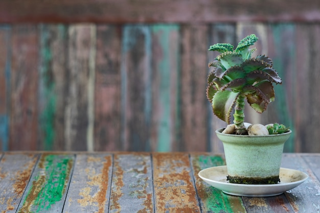 Kleine grüne saftige pflanze im blumentopf.