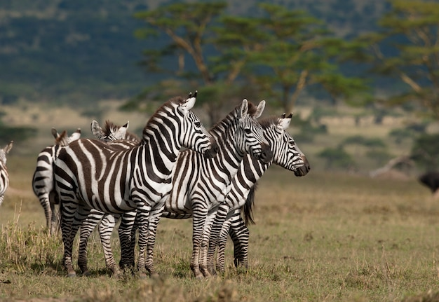 Kleine gruppe von zebras