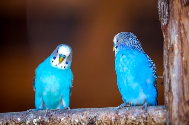 Kleine hellblaue papageienvögel, die auf ast auf unscharfem kopienraum sitzen. halten sie haustiere zu hause konzept.