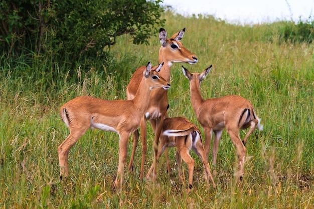 Kleine herde von impalas. tarangire, tansania