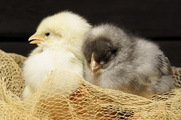 Kleine hühner auf einem dunklen holztisch sitzen vögel in einem nest aus netz