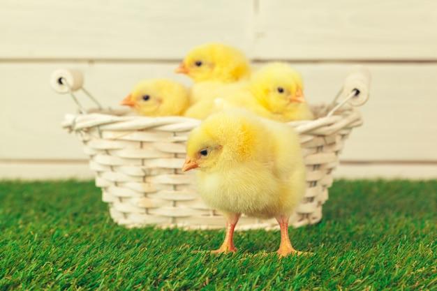 Kleine hühner auf einem korb draußen