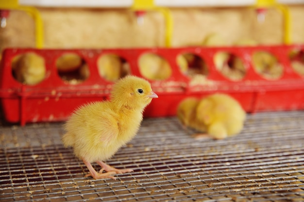 Kleine hühner oder wachteln trinken wasser