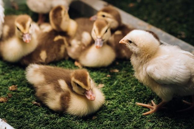 Kleine hühner und entenküken sonnen sich auf dem gras.